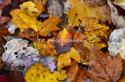 Golden Fall Leaves | Taylor Cannon Photography